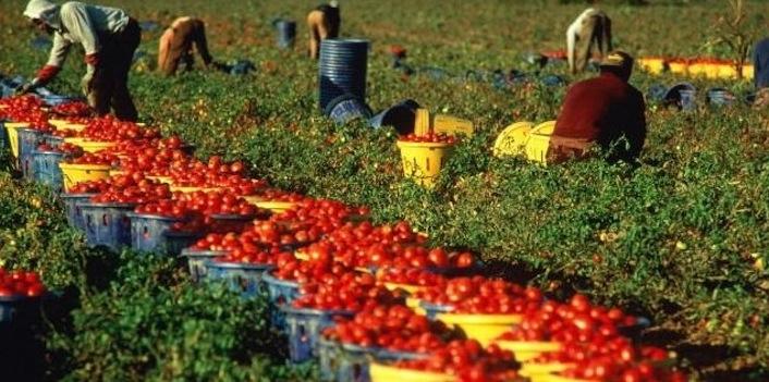 Immigrati raccolgono pomodori nelle campagne di Villa Literno, in provincia di Caserta.