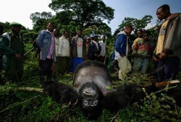 Guerre dimenticate/La terra dei gorilla bagnata ogni giorno dal sangue di 38.000 cadaveri