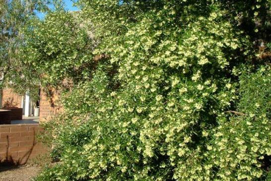 03 dodonaea viscosa