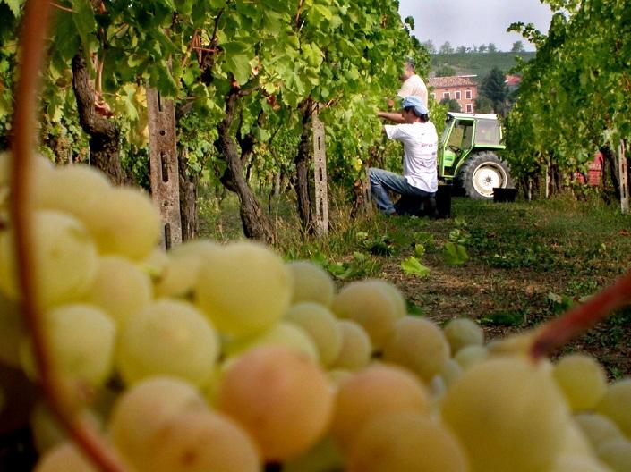 Un vigneto che produce uva da Moscato.