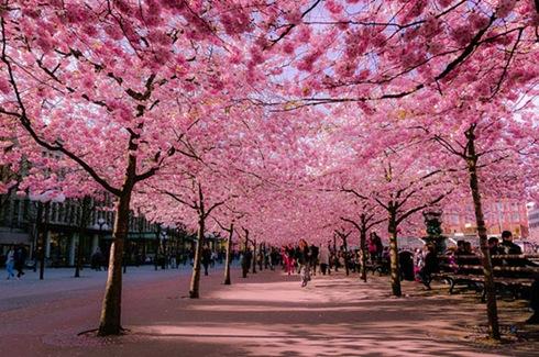 fioritura-dei-ciliegi-cherry-blossom