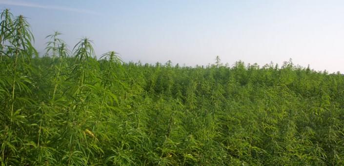 Una coltivazione industriale di Marijuana: lo stato americano del Colorado ha legalizzato da poco più di un anno l'uso ludico della Canapa Indiana, il mercato è in crescita, gli shop sono affollati ma i prezzi crollano