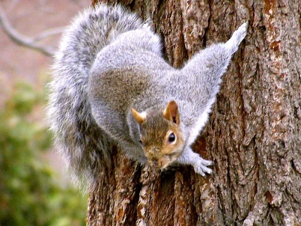 gray-squirrel_sciurus_carolinensis-3