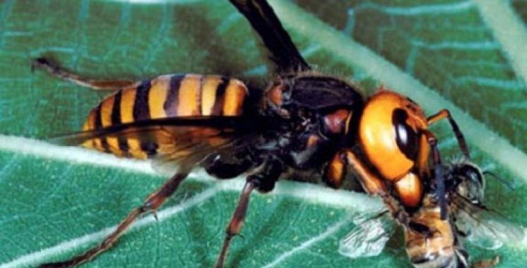 vespa-killer-calabrone