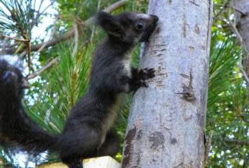 Scoperta nuova specie: lo scoiattolo merdionale. Ma rischia l'estinzione