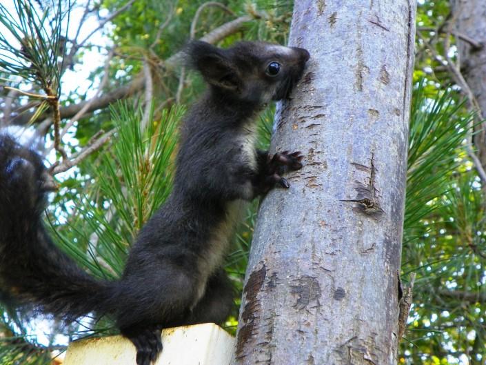 scoiattolo-sciurus-vulgaris-meridionalis