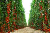 Salva il pianeta, non mangiare pomodori in inverno
