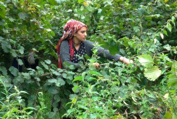 Nei campi di nocciole turche, il sapore amaro della Nutella