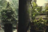 Cannabis, Cassazione choc: piantarla non è reato